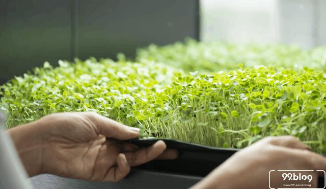 Microgreen, Solusi Berkebun di Rumah Tahun 2020 | Penuh Manfaat!