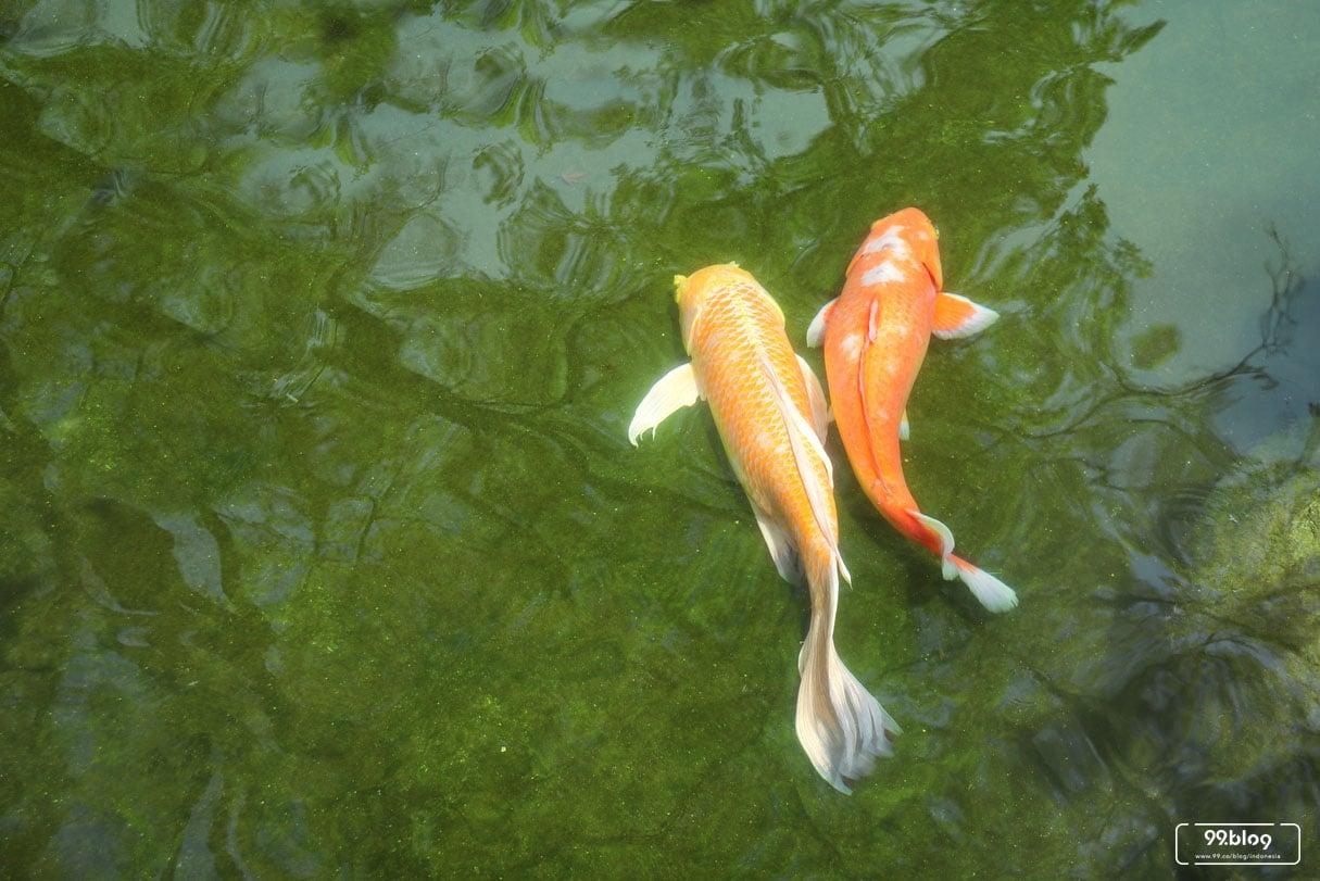 11 Cara Menghilangkan Lumut Di Kolam Ikan Dengan Bahan Alami