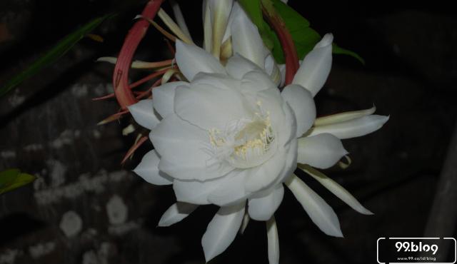 5 Mitos Bunga Wijaya Kusuma | Dari Pembawa Untung Sampai Hal Gaib!