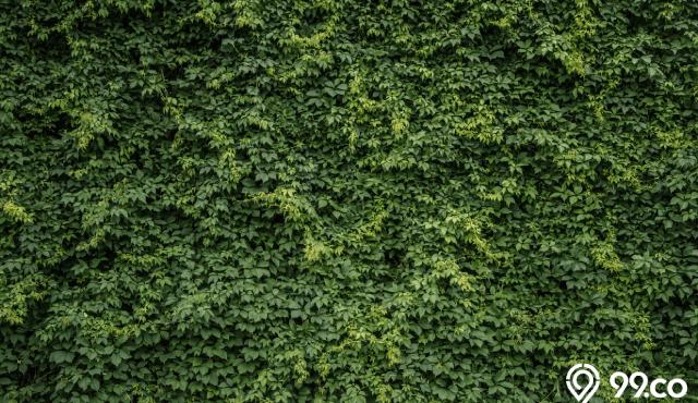 tanaman rambat yang tidak merusak dinding