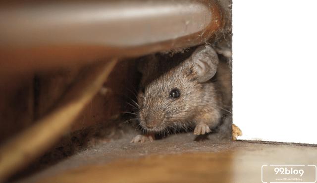 15 Cara Mengusir Tikus Menggunakan Bahan Alami Terbukti 100% Ampuh