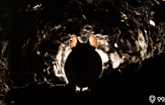 cara mengusir tikus dari plafon rumah
