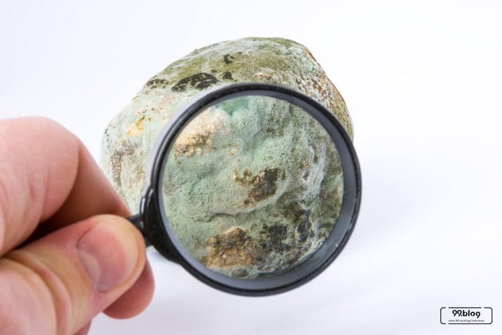 jenis jamur tembok