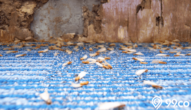 13 Cara Membasmi Rayap di Rumah Sampai Musnah | Ampuh & Efektif!