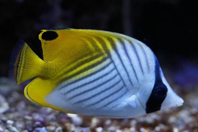 Ikan Hias Air Laut Yang Indah Dan Mudah Didapatkan Ada Nemo
