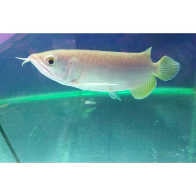 ikan arwana banjar