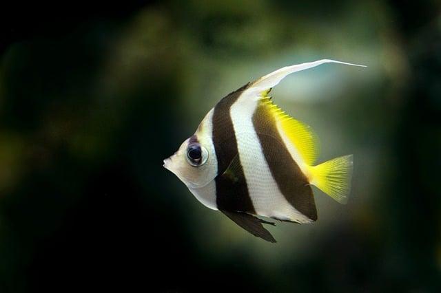 ikan bidadari hias bisa dicampur dengan ikan lain