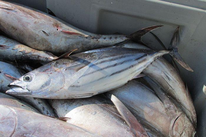 ikan cakalang