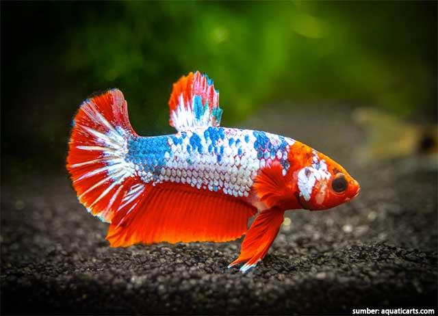 Ikan Cupang Online