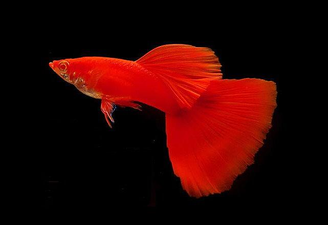 9 Jenis Ikan Guppy Yang Paling Banyak Dicari Dan Cara Merawatnya