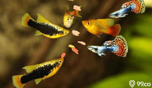 9 Jenis Ikan Guppy yang Paling Banyak Dicari Tahun 2020 dan Cara Merawatnya