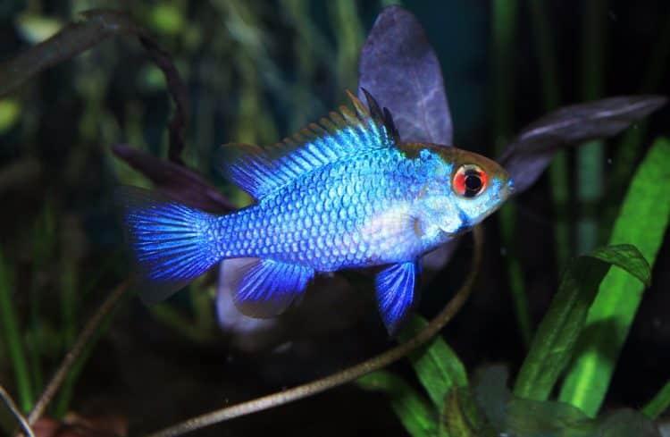 ikan blue ram