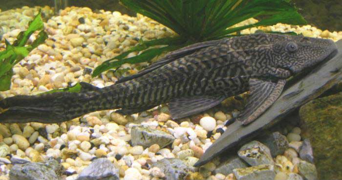 Download 4300 Koleksi Gambar Ikan Hias Naga Terpopuler