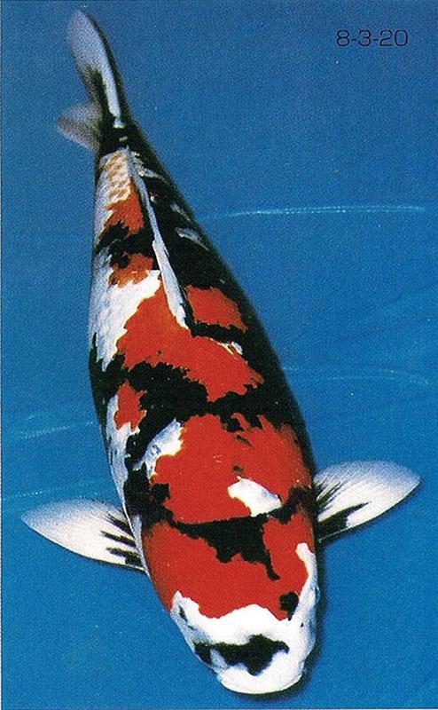 ikan koi Showa Sanshoku