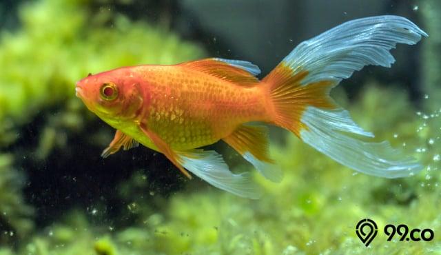 Mengenal Ikan Komet Tips Merawat Dan Panduan Memilih Jenis Terbaik