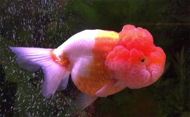 ikan mas lionhead