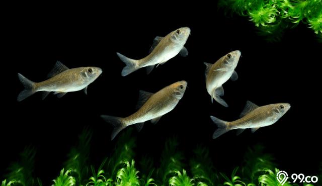 Mengenal Ikan Nilem, Spesies Ikan Kecil yang Dimanfaatkan untuk Terapi