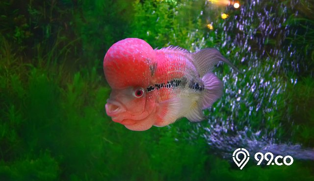 7 Ikan Pembawa Hoki dan Rezeki. Percaya atau Tidak?