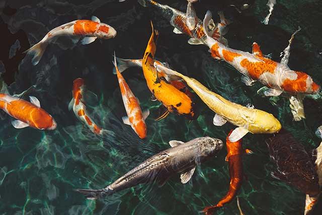 ikan pembawa keberuntungan