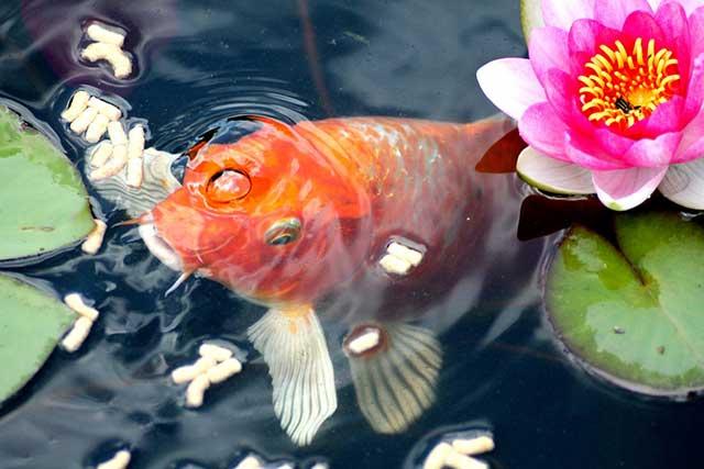 ikan pembawa hoki