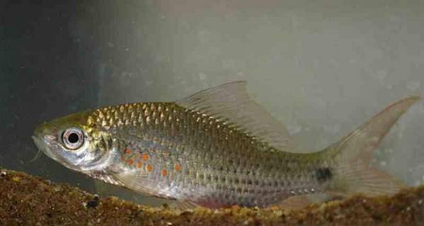 Ikan Terapi Nilem Mangut