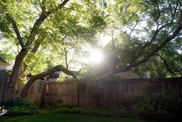pohon besar di timur