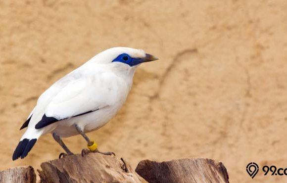 jenis burung langka di Indonesia