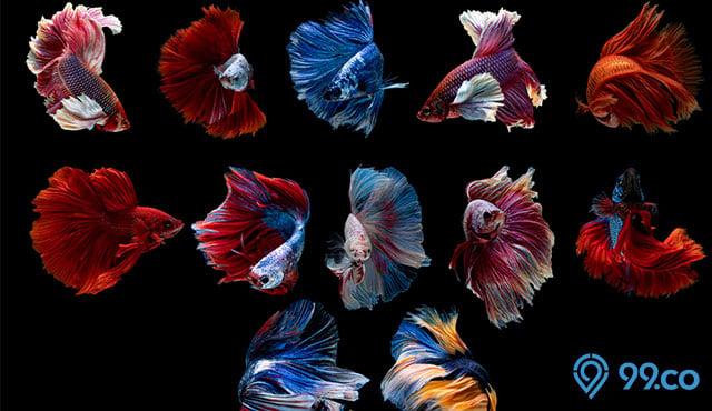 11 Jenis Ikan Cupang Hias, Aduan, dan Liar yang Cocok Dipelihara di Rumah. Obat Stres Ampuh!