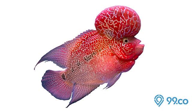 Membawa Keberuntungan, Ini 7 Jenis Ikan Louhan Lokal yang Cocok untuk Dipelihara di Rumah