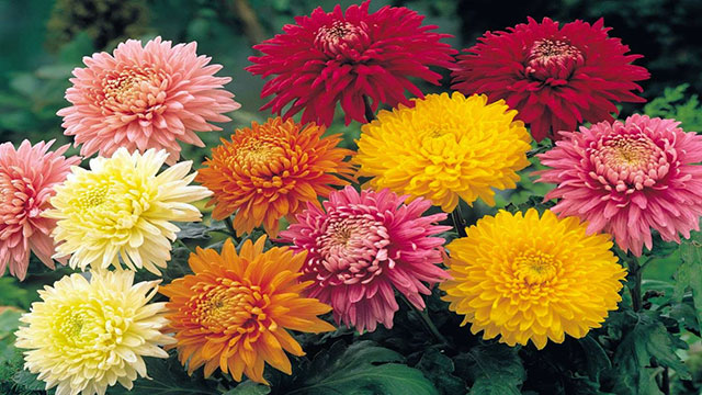 cara menanam bunga krisan