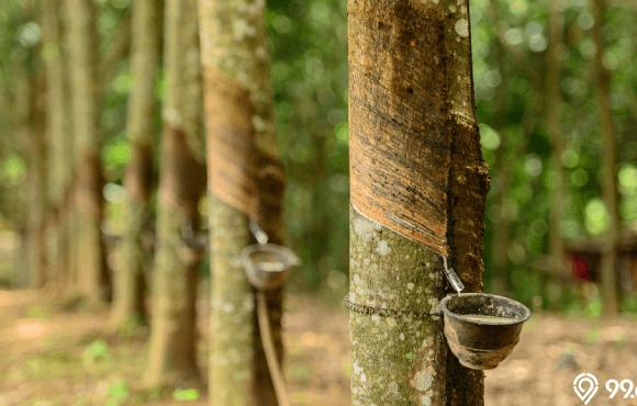 jenis pohon tanaman karet