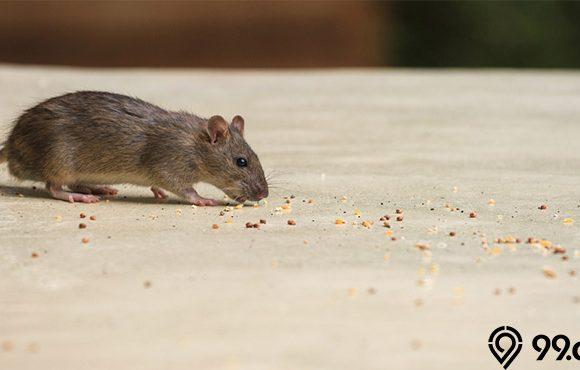 jenis tikus rumahan