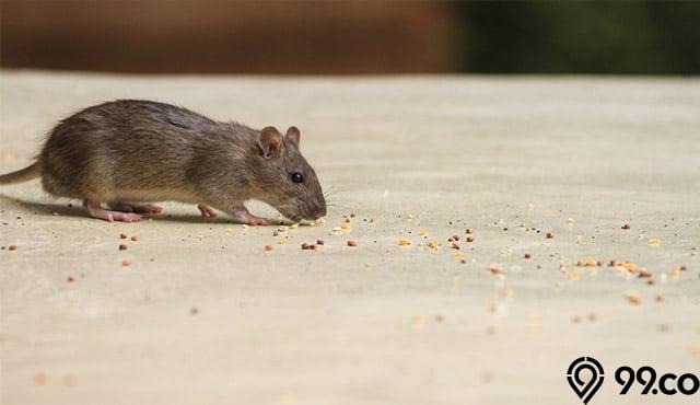 6 Jenis Tikus Rumahan | Ternyata Ukuran & Bentuknya Berbeda-beda, lho!