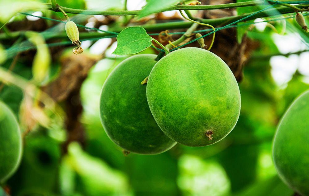buah lo han kuo