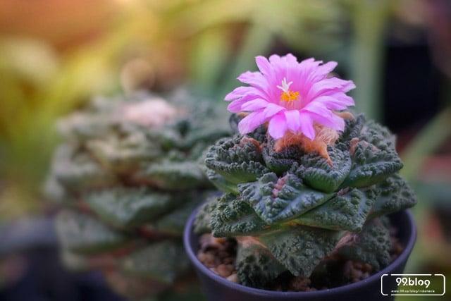 kaktus hias mini