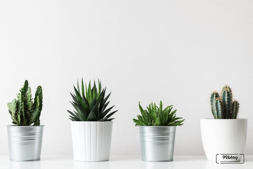 cara merawat tanaman hias indoor kaktus