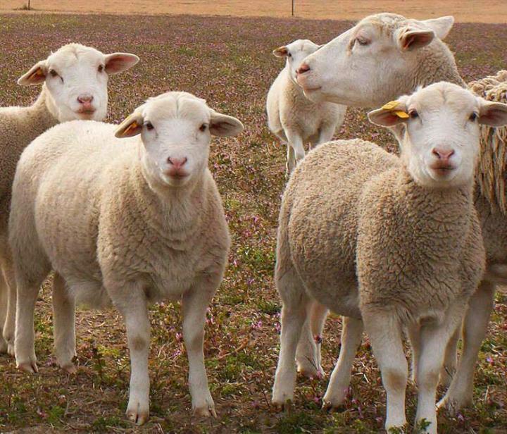 cara ternak kambing putih