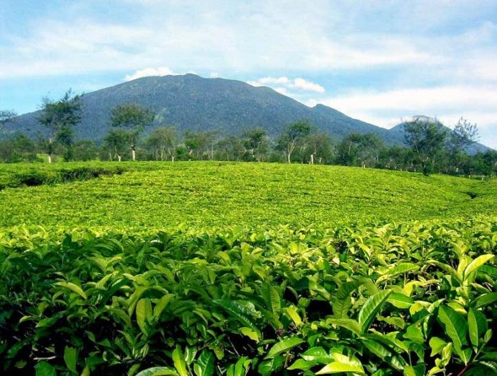 pohon teh di kebun teh