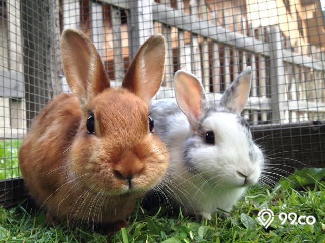 cara mengembangbiakkan kelinci-kelinci pedaging
