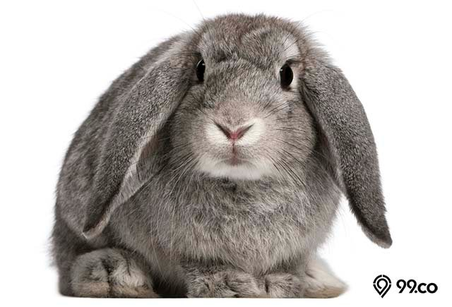 kelinci lop