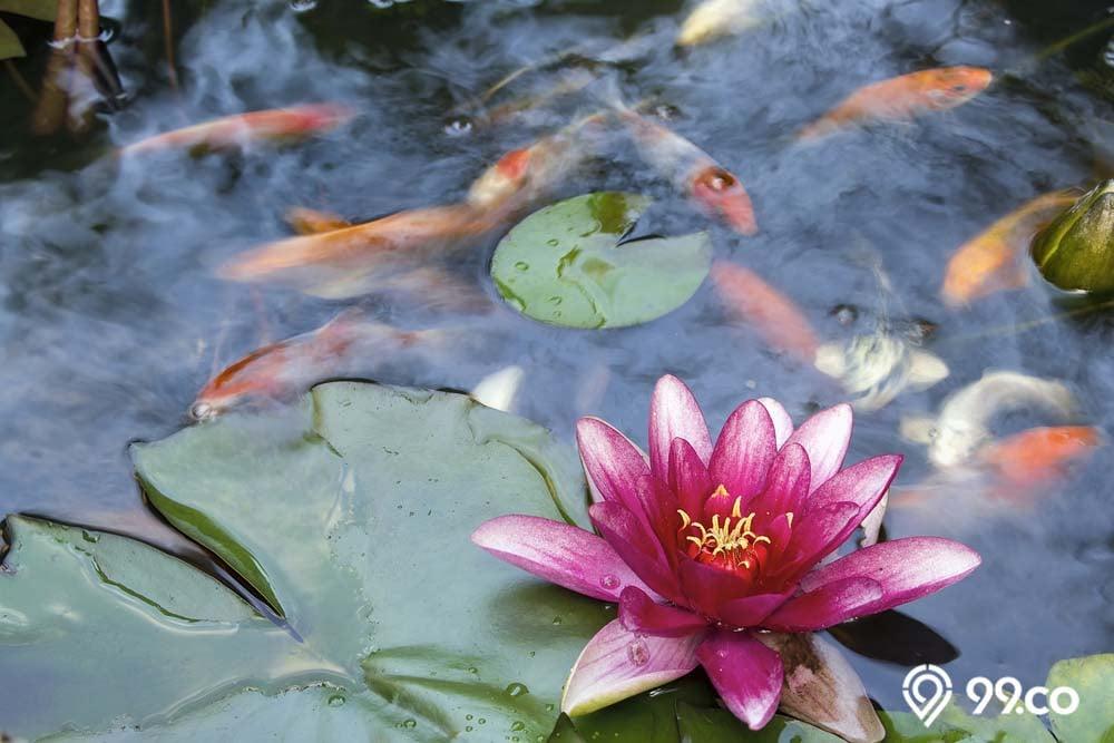 kolam ikan koi berbunga