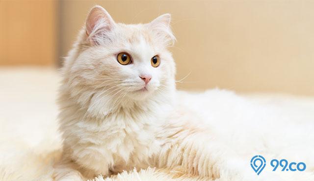 Daftar Harga Kucing Anggora Semua Jenis 2021. Ada yang Rp200 Ribuan, lo!