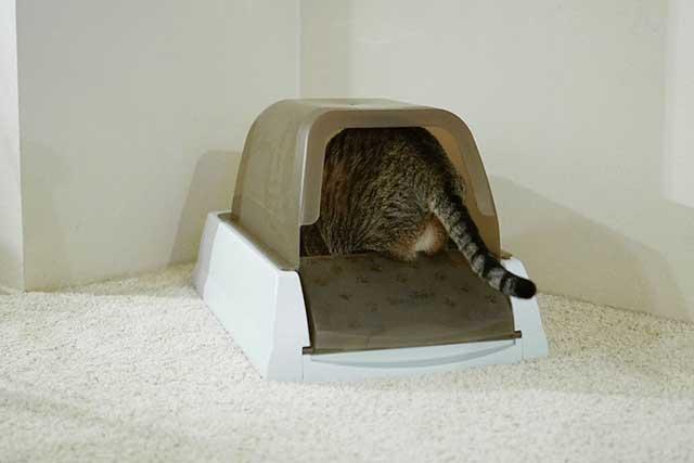 cara menghilangkan bau pipis kucing