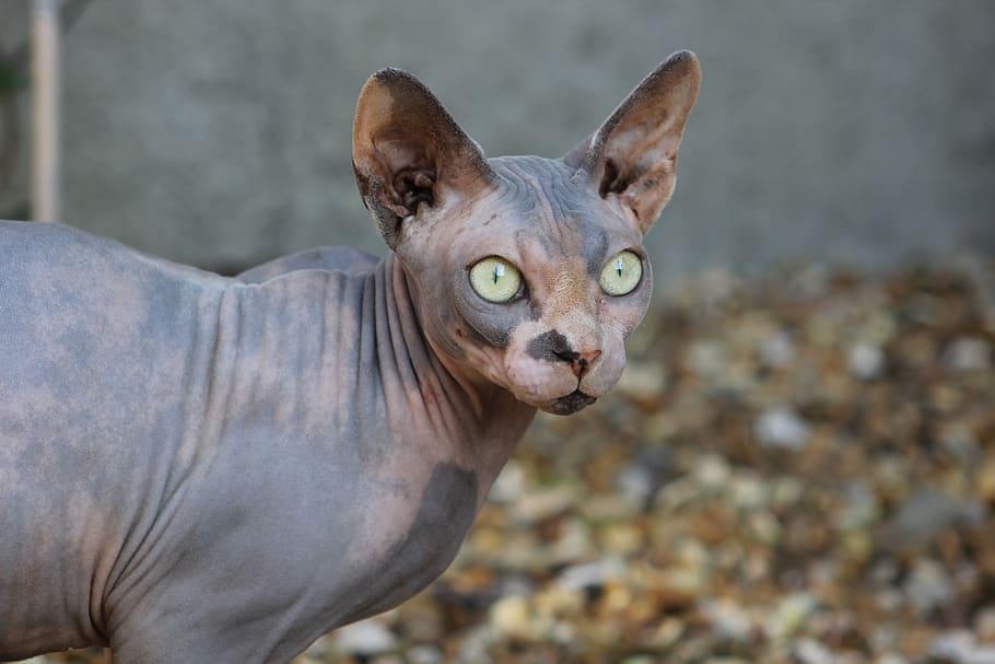 10 Jenis Kucing Unik Yang Ada Di Dunia Duh Kawainya