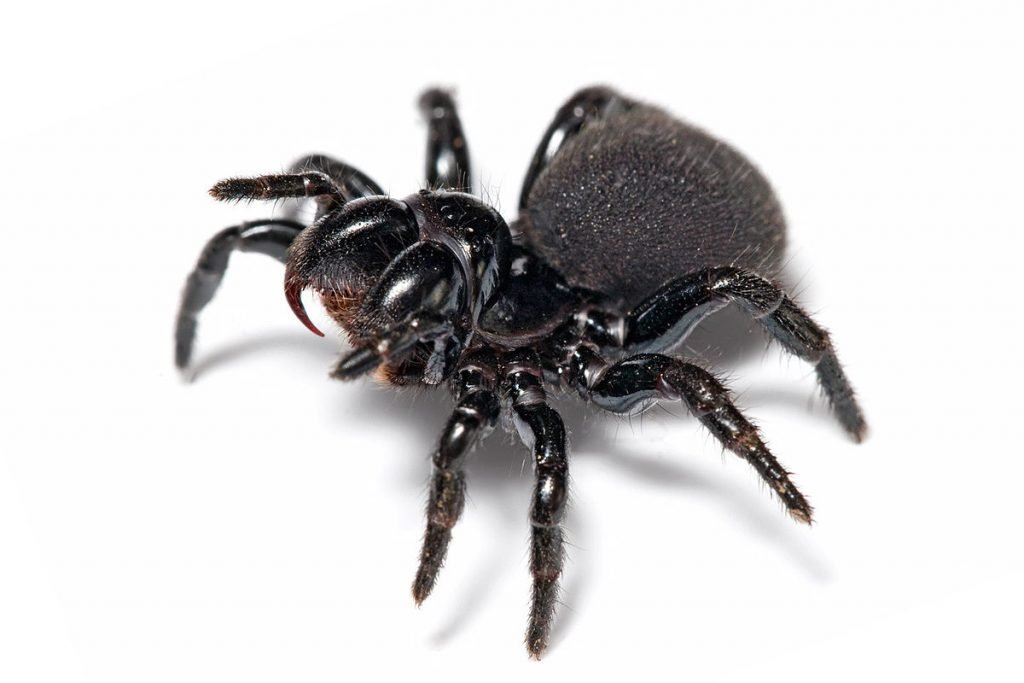laba-laba berbahaya