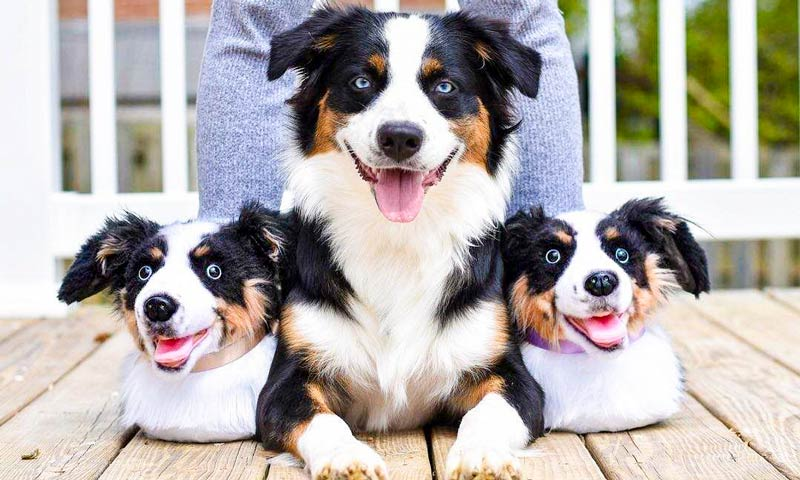 hukum memelihara anjing