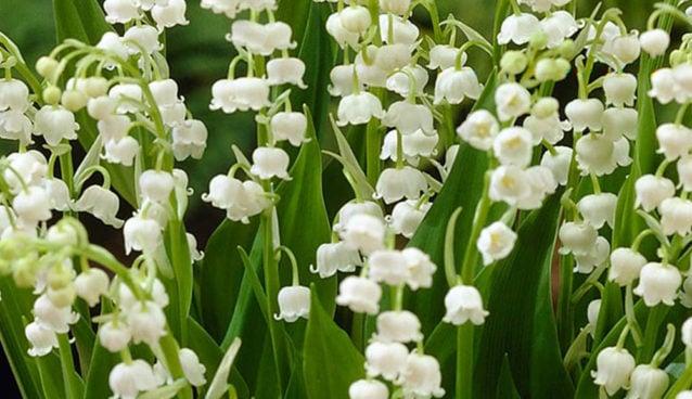 8 Manfaat Bunga Lili Untuk Kesehatan Bisa Jadi Obat Amandel Alami