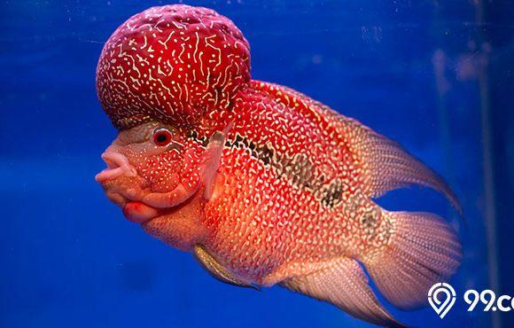 ikan lou han