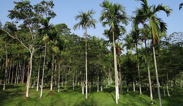 manfaa pohon aren