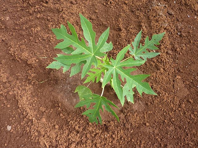 manfaat air daun rebusan pepaya